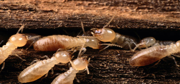 Purpose Of Termite Inspection For Home Purchase