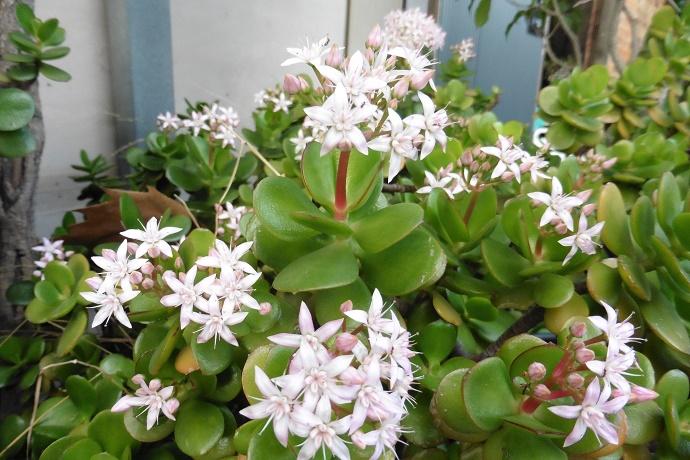 Carassula money plant