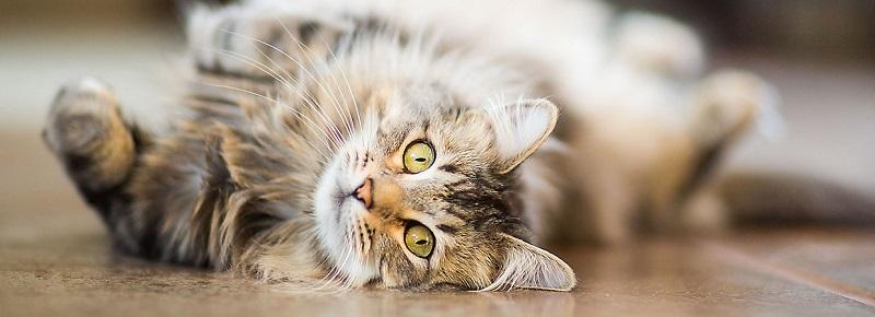 cat-flea-treatment