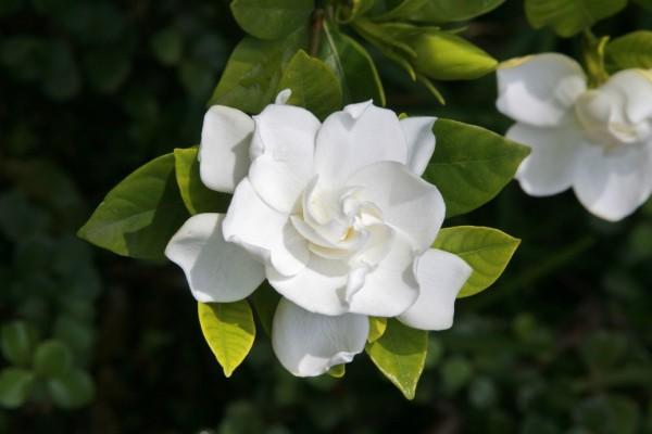 gardenia bush2