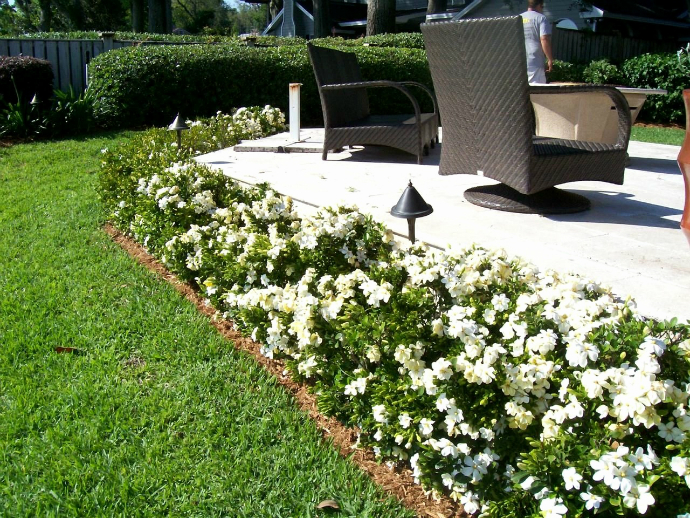 gardenia bush3
