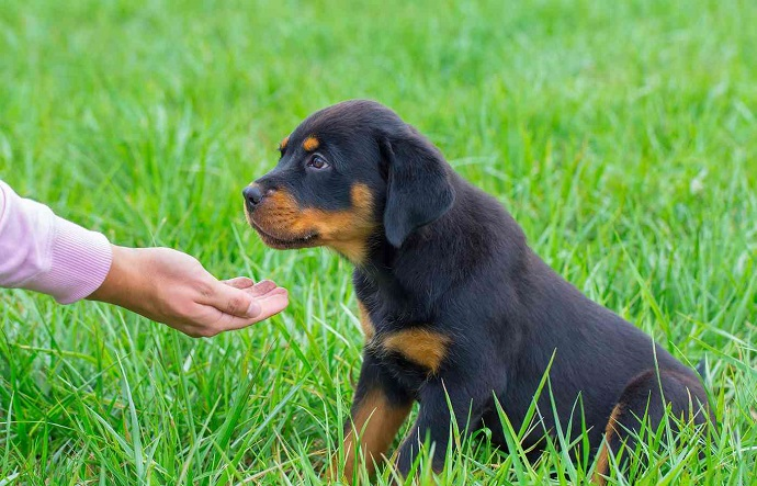 rottweiler waiting for snack